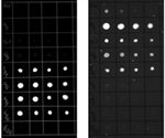 Flexible Method for Imaging Fluorescent Western Blot