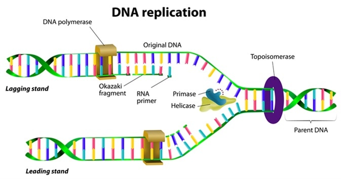 DNA replication - Image Credit: Designua / Shutterstock