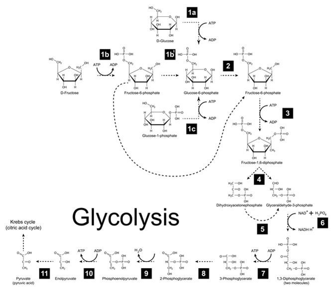 Chemical scheme of glycolysis metabolic pathway - Image Credit: chromatos / Shutterstock