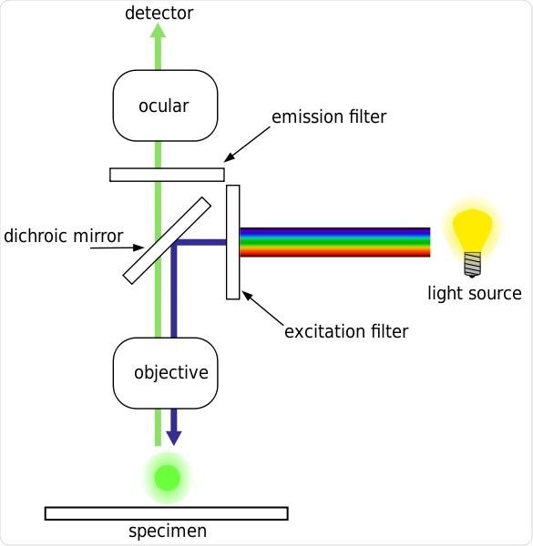 epifluorescence microscope diagram leica compound microscope diagram