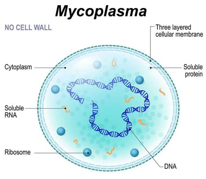 Structure of Mycoplasma cell. the bacterium is the causative agent of sexually transmitted diseases, pneumoniae, atypical pneumonia and other respiratory disorders. unaffected by many antibiotics. Image Credit: Designua / Shutterstock