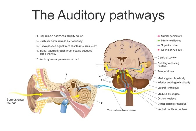 The auditory system is the sensory system for the sense of hearing. It includes both the sensory organs (the ears) and the auditory parts of the sensory system. Image Credit: Artwork studio BKK / Shutterstock
