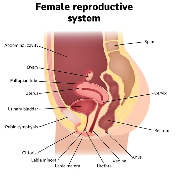 Real Vagina Diagram