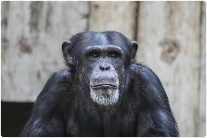 Demostración Alzheimer de los chimpancés del Envejecimiento como cambios del cerebro. Haber de Imagen: Pixelcount/Shutterstock
