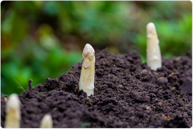 Fresh white asparagus - spring growth on cultivated fields. Image Credit: barmalini / Shutterstock