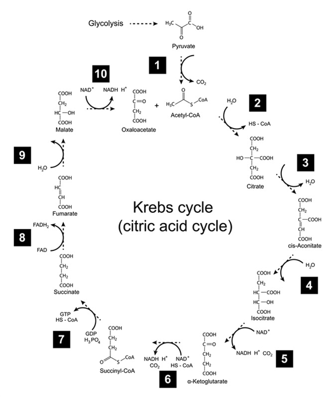 Chemical scheme of Krebs cycle - tricarboxylic acid (citric) cycle, 2d illustration. Image Credit: Chromatos / Shutterstock
