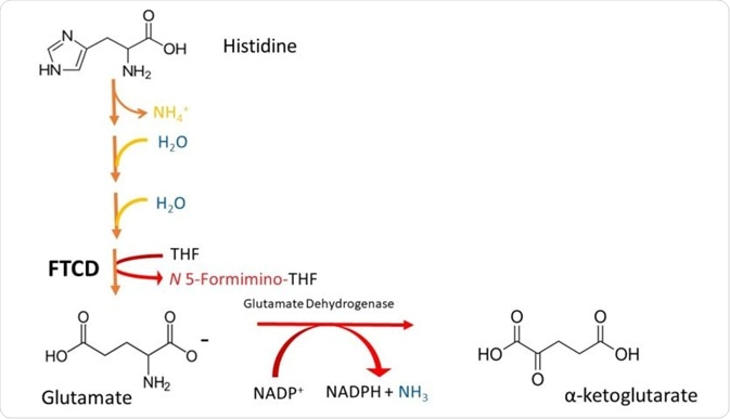 Figure 2 A simplified scheme depicting the degradation of Histidine to -ketoglutarate. Note that histidine is deaminated (loss of NH¬4), then it is hydrated (addition of H¬¬2O in 2 successive steps), and its imidazole ring is cleaved to form formiminoglutamate. The formimino group is then transferred to THF, to produce glutamate and N5-formiminotetrahydrofolate by FTCD.