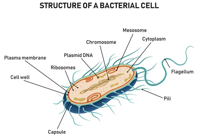 Structure of a bacterial cell. Image Credit: Logika600 / Shutterstock