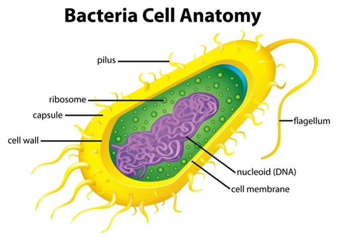 Illustration of the bacteria cell structure. Image Credit: BlueRingMedia / Shutterstock