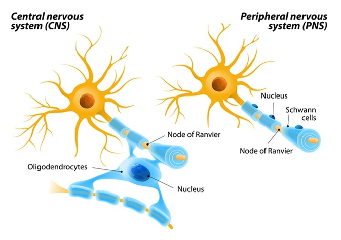 Oligodendrocytes in the central nervous system and Schwann cells in the peripheral nervous system.. Image Credit: Designua / Shutterstock