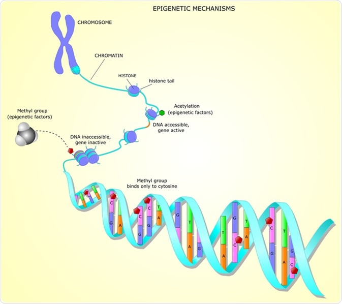 Epigenetic mechanisms. Image Credit: Ellepigrafica / Shutterstock
