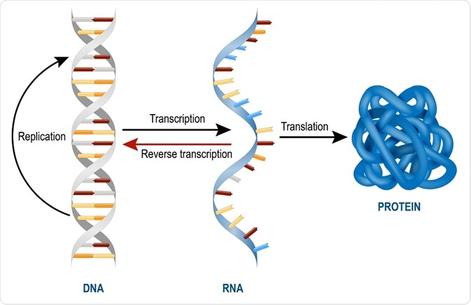 DNA transcription and translation into protein. RNA is the middle man.