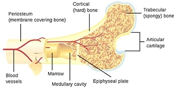 Bone cross-section by Pbroks13 [CC BY 3.0], via Wikimedia Commons