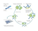 Development of Recombinant Monoclonal Antibodies Using an In Vitro Approach