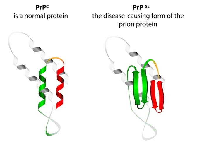 Prion an composed of protein in a misfolded form . Prions are responsible for the transmissible mad cow disease. All known prion diseases are currently untreatable and fatal. Image Credit: Designua / Shutterstock