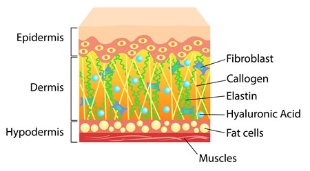 Skin cross section. Image Credit: Elh / Shutterstock