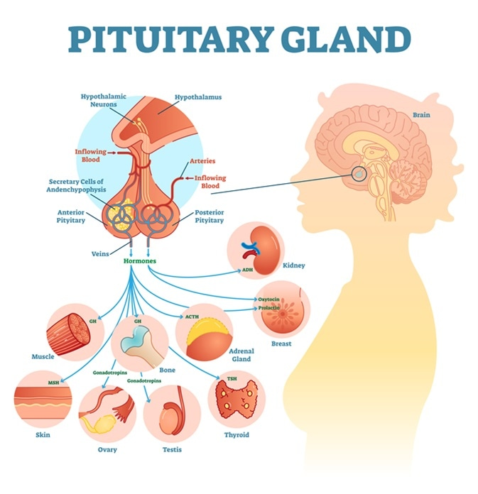 Pituitary gland anatomical illustration with brain and hormone types. Image Credit: Vector Mine / Shutterstock
