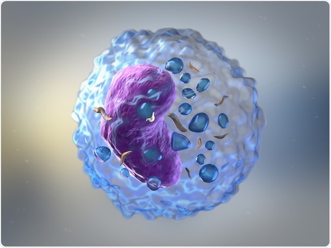 Lymphocytes are white blood cells or leucocytes in the human immune system consisting of B and T cells which form antibodies for immunity and natural killer cells which fight viruses and tumours. Image Credit: urfin/ Shutterstock