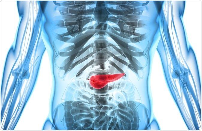 3D illustration of Pancreas - part of digestive system, medical concept. Image Credit: MDGRPHCS / Shutterstock