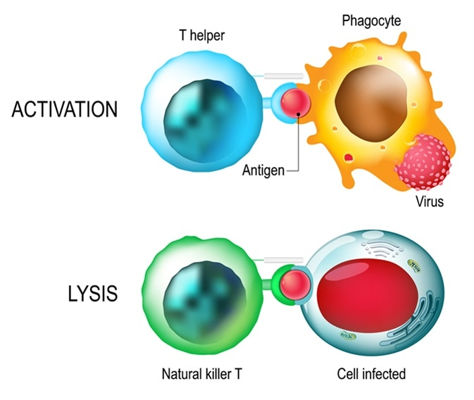 T-cell. Activation and lysis of the leukocytes. T cells direct and regulate immune responses and attack infected or cancerous cells. Image Credit: Designua / Shutterstock