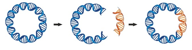 A bacterial plasmid is a small DNA molecule that are commonly used bacterial cloning. The cloning plasmids contain a site for a DNA insert. Image Credit: Soleil Nordic / Shutterstock