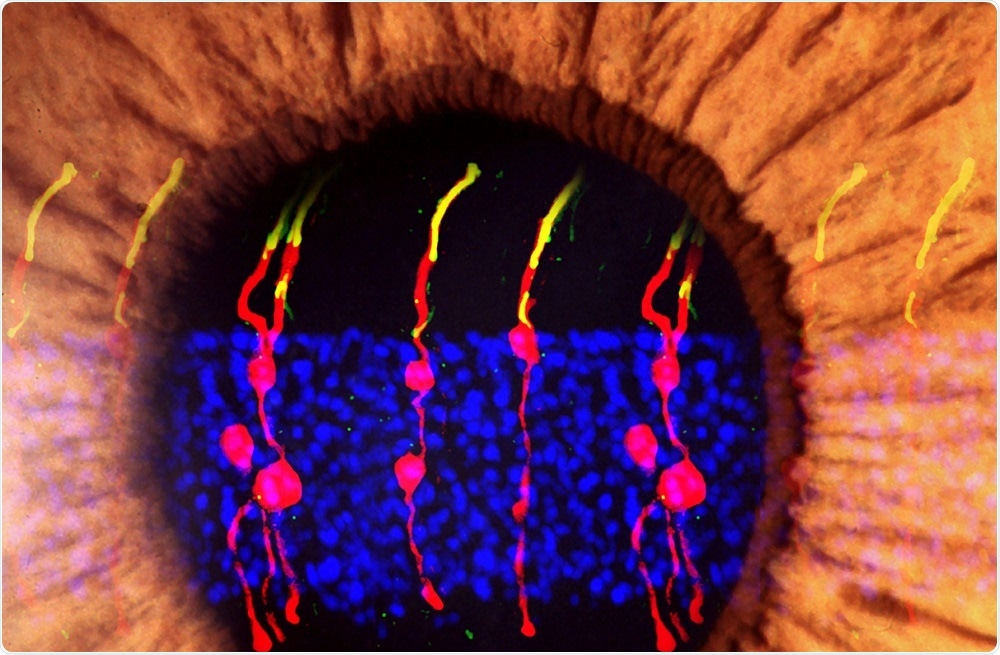 Photoreceptors in eye of mouse with congenital blindness