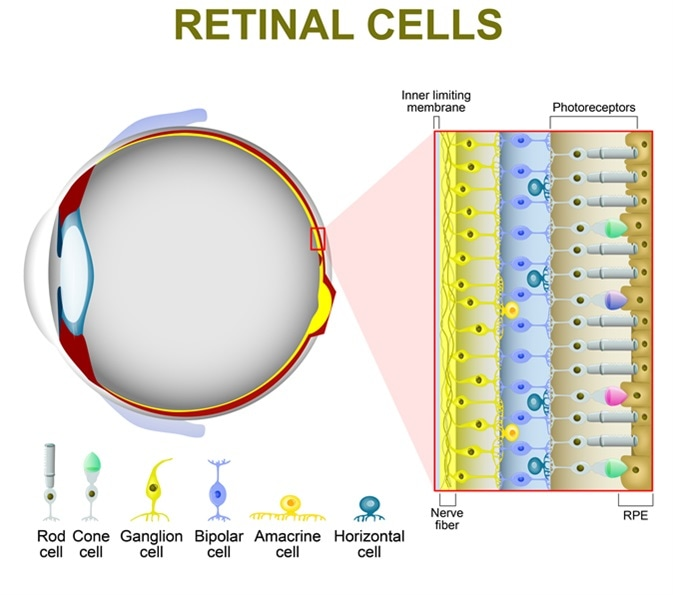 Rod and cone cells. The arrangement of retinal cells is shown in a cross section. Image Credit: Designua / Shutterstock
