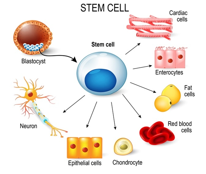 Ilustrasi stem cell