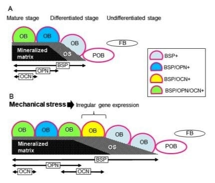 Researchers Show How Specific Gene >> Researchers Show How Mechanical Stress Affects Bone Development