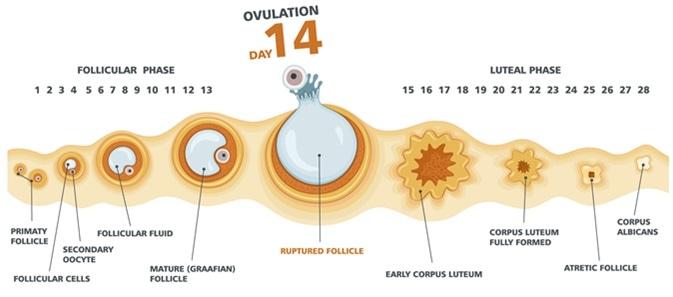 Quelle est ovulation ?