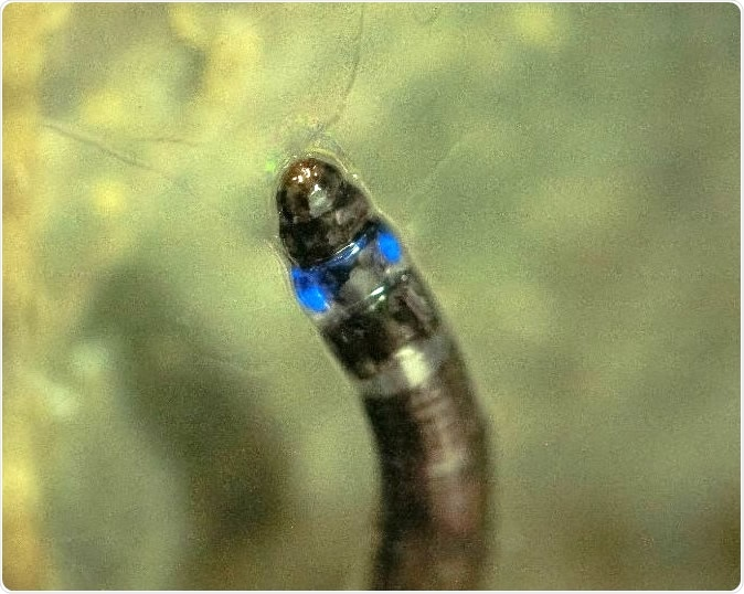 First South American insect that emits blue light is discovered Larvae of a fungus gnat found in Iporanga, São Paulo State, Brazil, have bioluminescent properties previously observed only in species native to North America, New Zealand and Asia. This study paves the way for new biotech applications (photo: Henrique Domingos / IPBio)