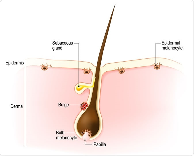 Anatomy of the hair follicle. Distribution of differentiated and immature melanocytes is shown