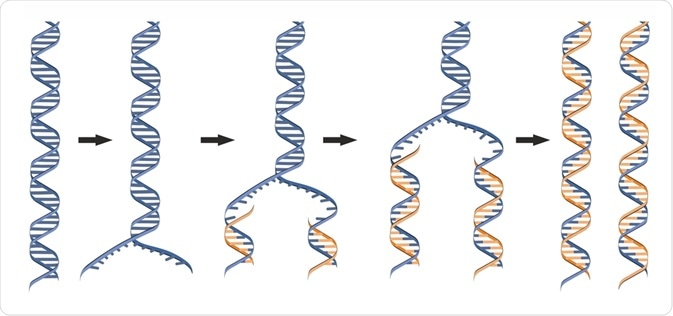 DNA Polymerase Function