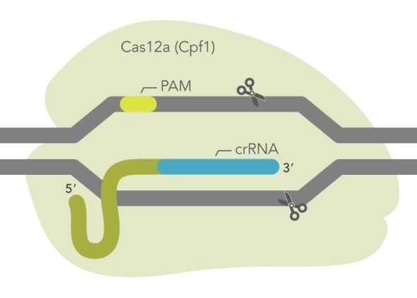 IDT releases new ultra-high performance CRISPR Cas12a enzyme