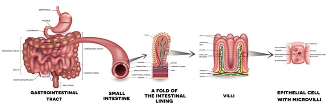 What Does the Small Intestine Do?