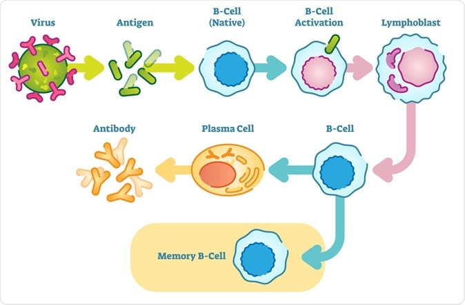 B cells, also known as B lymphocytes, are a type of white blood cell of the lymphocyte subtype. They function in the humoral immunity component of the adaptive immune system by secreting antibodies. Image Credit: VectorMine / Shutterstock