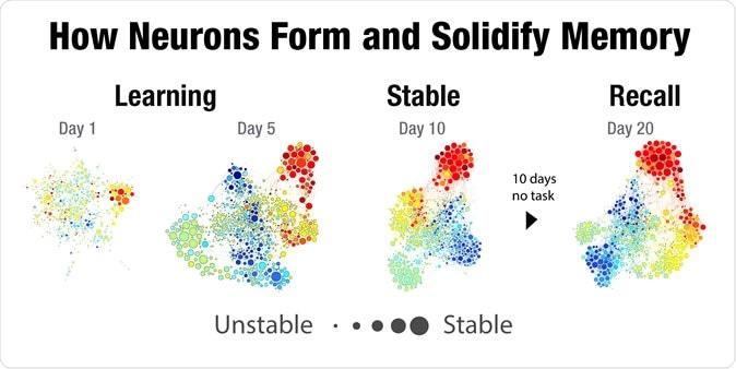Αποτέλεσμα εικόνας για how neurons form and solidify memory