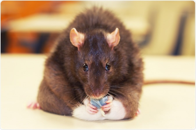 The research with rats provides some insight into the mechanism(s) underlying altered taste perception in humans with obesity. Image Credit: Stester / Shutterstock
