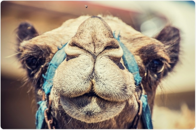 Photo of a camel - the producer of camelid antibodies