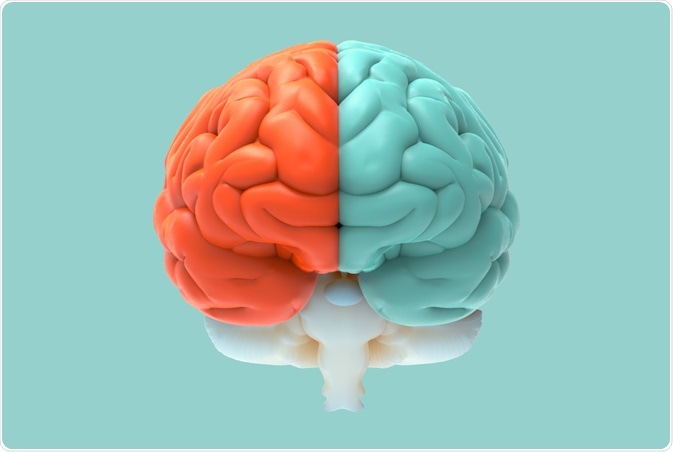 Left and right hemispheres of the brain - colored in red and blue - an illustration By Jolygon