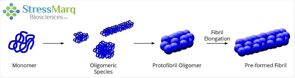 Monomers aggregate to form oligomers, protofibril oligomers, and ultimately lengthen into fibrils.