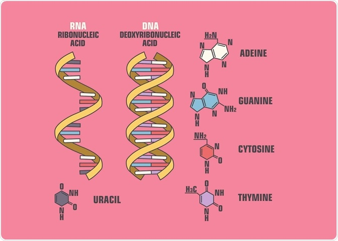 Diagram showing the differences between DNA and RNA