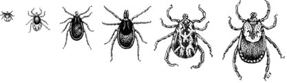 Left to right: larva, nymph, male and female Ixodes scapularis, and male and female of Dermacentor variabilis.