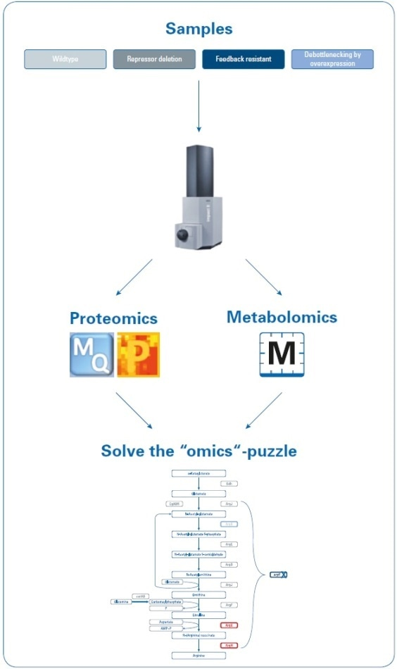 Workflow to investigate the increase in arginine production by rational strain design. Four samples (wild type and three mutant strains) were analyzed using proteomics and metabolomics applications on the impact II Q-TOF instrument. Data were processed using MaxQuant and Perseus (for proteomics studies) or MetaboScape (for metabolomics studies) software, and then mapped onto the biological pathways to visualize the results of the introduced changes.