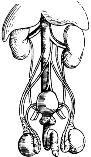Andreas Vesalius - Diagram of prostate