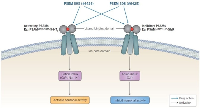 Mechanism of action of PSEMs. Activating PSAMs are composed of a mutated α7 nAChR ligand binding domain spliced with the ion pore domain of a cation selective channel, such as 5-HT3. Binding of PSEMs to activating PSAMs results in influx of cations and activation of neuronal activity. Inhibitory PSAMs are composed of a mutated α7 nAChR ligand binding domain spliced with the ion poredomain of an anion selective channel, such as GlyR. Binding of PSEMs to inhibitory PSAMs results in influx of anions and inhibition of neuronal activity.