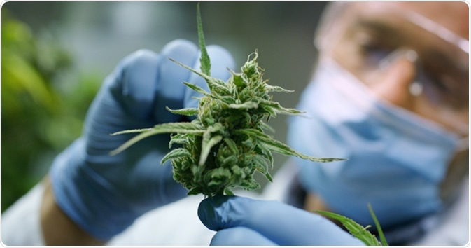 Scientist checking hemp plants. Image Credit: HQuality / Shutterstock