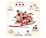 How are Macrophages Involved in Disease and Health?