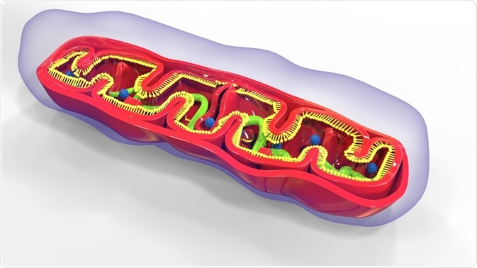 The mitochondrial genome is  vital for the production of cellular energy.