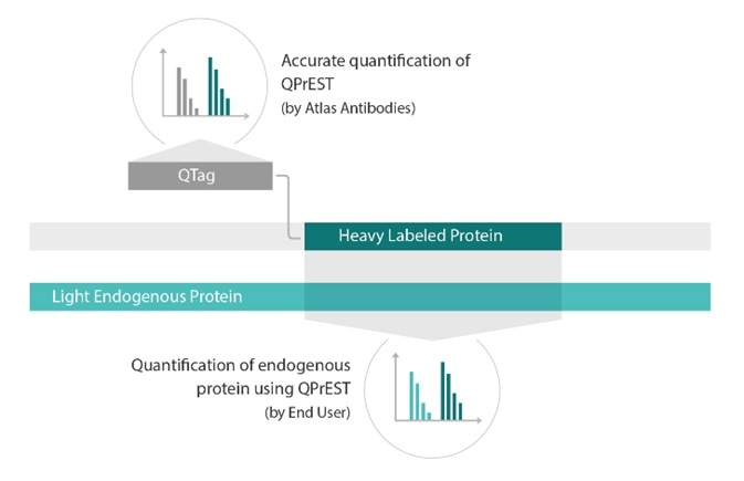 Schematic figure of a QPrEST standard. The N-terminal part of the sequence consists of the QTag sequence, used for purification and accurate quantification of the QPrEST using an unlabeled QTag. The C-terminal part of the sequence is identical to a portion of a human protein. This part is used for absolute quantification of the endogenous target protein.